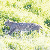 A large bobcat sighted on Tranquil Place.