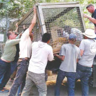 Volunteers and staff loading a tiger for evacuation.