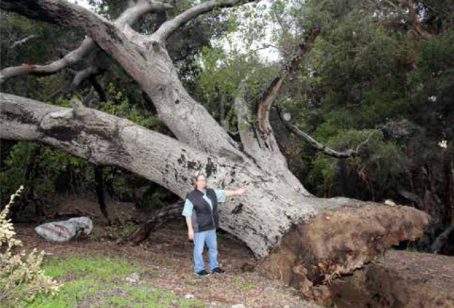 Resident Linda Brand stands beside the mighty Oak that fell on Hillhaven just after the rains.