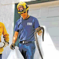 Firefighters from LAFD Stn 74 responded to a snake call on Hillhaven Ave. in Tujunga. When they arrived, they found a 4-foot rattler coiled up against a porch wall. They could not rehome it because of pets in the area and had to dispatch it.